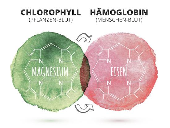 Chlorophyll und Hämoglobin
